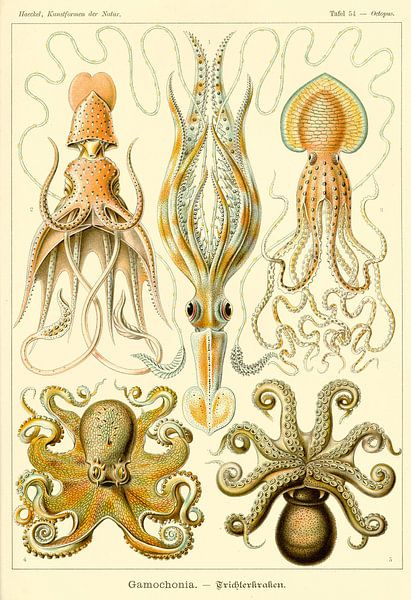 Gamochonia - Ernst Haeckel van Het Archief