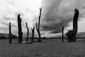 Woodhenge, 1400 tot 1700 jaar oude bomen, die deel uit maken  van een monument van Kim Willems