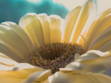 Gerbera / Bloem / Bloemblaadjes / Natuur / Licht / Oranje / Geel / Wit / Bruin / Close-Up Macro van Art By Dominic