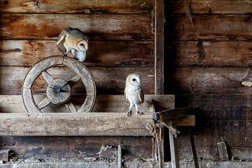 kerkuilen koppel in oude schuur van Henk Bogaard