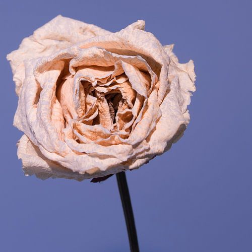 uitgebloeide roze roos met blauwe achtergrond van arjan doornbos