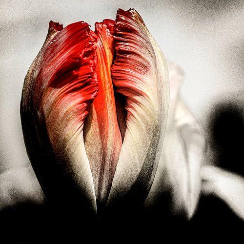 Tulp met een extra dimensie.