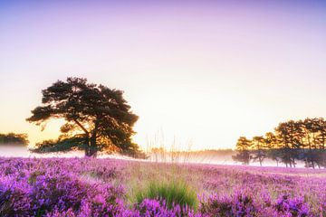 Bloeiende heide in het landschap tijdens zonsopgang in de zomer van Sjoerd van der Wal