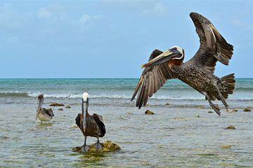 Pelikanen von Ron Steens