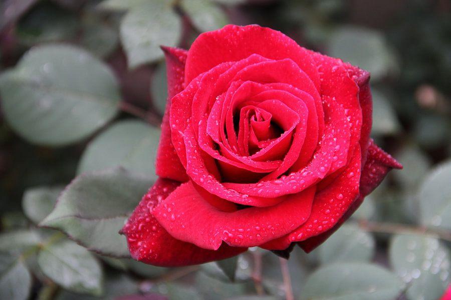 Th eRed Rose