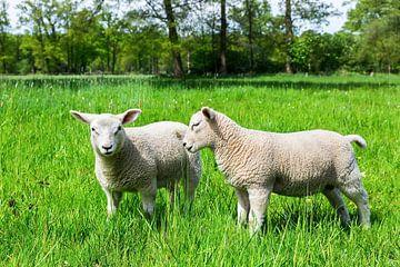Twee witte lammetjes staan samen in groen weiland van Ben Schonewille