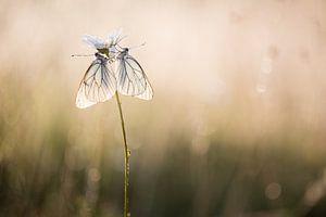 Twee witte vlinders in de eerste zonnestralen