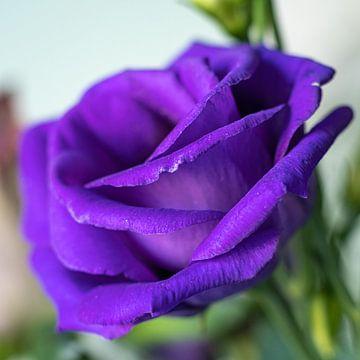 Violette Rose von Elma Mud