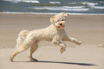 labradoodle hond spelend en rennend op het strand van Peter Buijsman