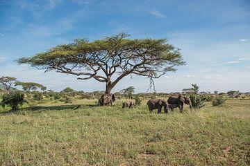 Groep olifanten van Menno Selles