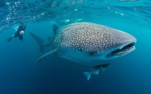 Walhai - Gigant aus dem Pazifik von Joost van Uffelen