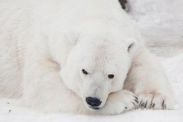 Een witte ijsbeer in een pluizige kristalwitte huid die op de sneeuw ligt en slaapt (rust), een groo van Michael Semenov