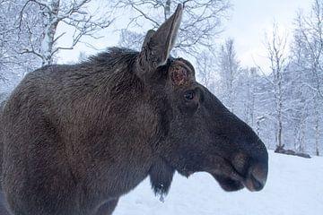 Eland in de sneeuw sur Dennis just me