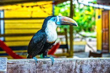 Toekan in Suriname van Michel Groen