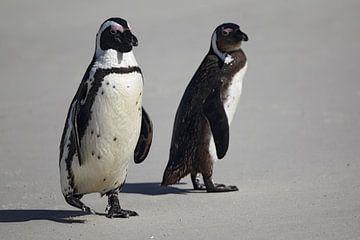 Jackass Pinguïns (Spheniscus demersus) van Dirk Rüter