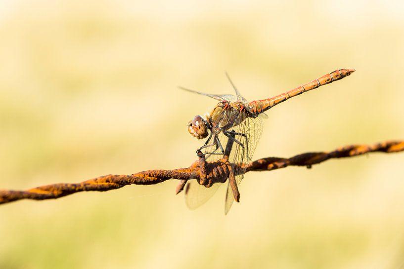 Rode libelle van Michel van Kooten