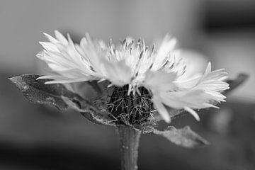 Strassenrandblume in schwarz-weiss von Charlotte Serrarens