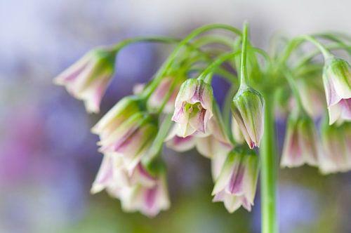 Bulgaarse sierui (Allium siculum)