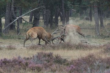 Ein Duell zwischen zwei Rotwild während der Rotwildbrunft – Cerfus elaphus von whmpictures .com