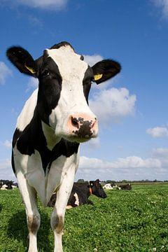 Nieuwsgierige koe van Sandra de Heij
