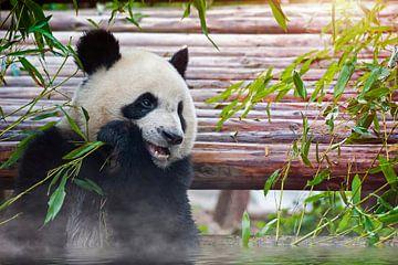Panda isst Bambus von Chihong