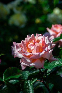 Rosa Rose in der Sonne während der goldenen Stunde von Andrea de Jong