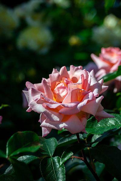 Roze roos in de zon tijdens gouden uurtje van Andrea de Jong