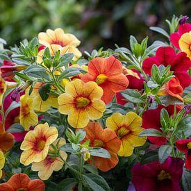Verschillende kleuren Petunia's in de bloei van JM de Jong-Jansen