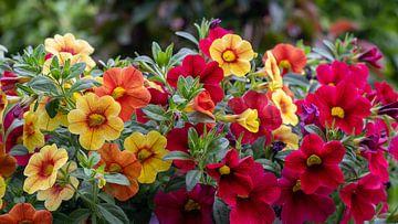 Verschiedene Farben von blühenden Petunien von JM de Jong-Jansen