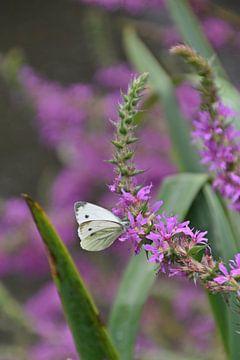 Kohlweiß auf violetter Blüte von Daphne van der straaten