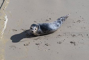 Robbe am Strand in der Nähe des Wattenmeeres von Ingrid Aanen