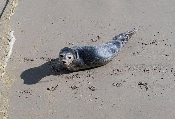 Zeehondje op het strand bij de Waddenzee