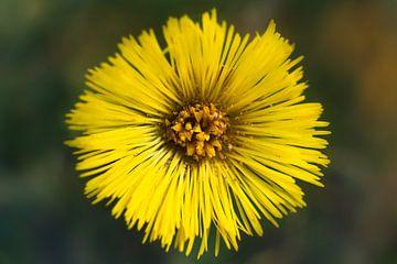 gelbe Blume von Arjen Roos