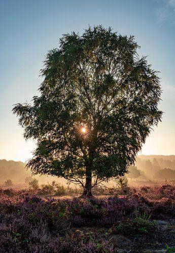 Bloeiende heide met boom in de zonsopkomst