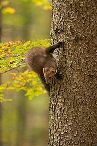 Beech Marten / Stone Marten ( Martes foina ) climbing up a tree, turning around