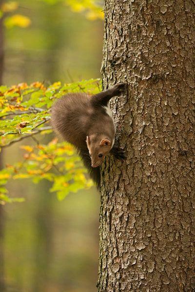Beech Marten / Stone Marten ( Martes foina ) climbing up a tree, turning around van wunderbare Erde