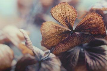 Hortensia in winterslaap von J.P. Valentine