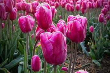 Rosa Tulpen von Ton van Waard - Pro-Moois