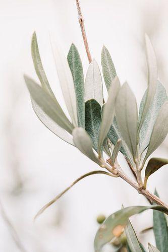 Olijfboom | olijftakken | fine art photography | botanisch