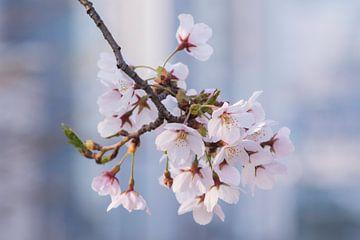 Koreaanse kersenbloesem in bloei van
