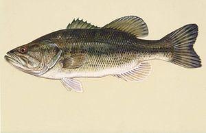 Forelbaars  (Largemouth bass fish)