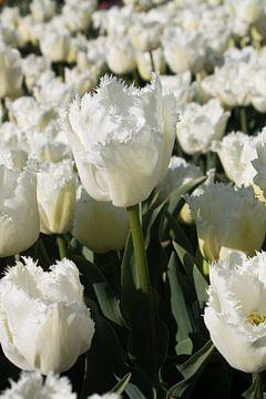 Witte tulp in bollenveld van Selina de Bue
