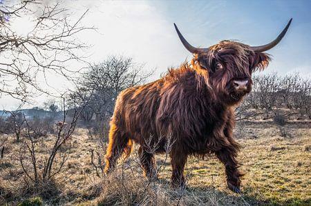 Schotse Hooglander van Frank Slaghuis