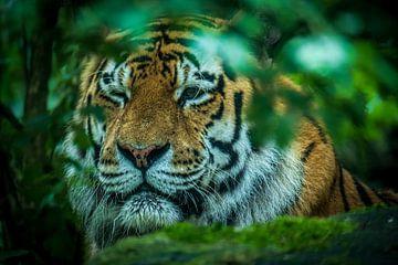Un clin d'œil du tigre. sur GiPanini