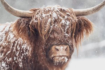 Portret van een Schotse Highlander koe in een besneeuwd bos van Sjoerd van der Wal