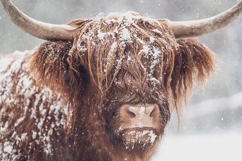 Portret van een Schotse Highlander koe in een besneeuwd bos