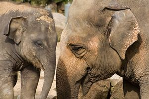 Olifanten staan slurf aan slurf van
