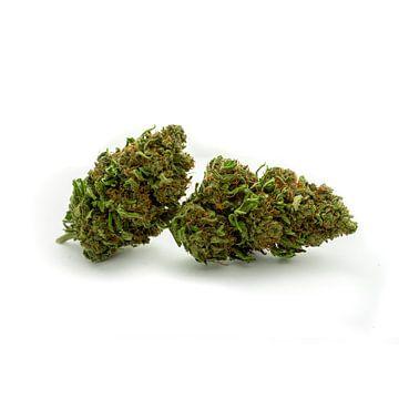 CBD Cannabisbloesem van Felix Brönnimann