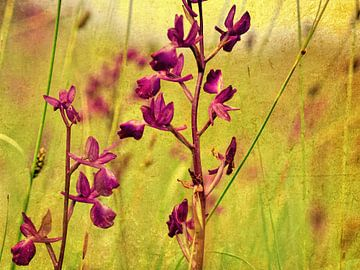 wilde Orchideen von Rosina Schneider