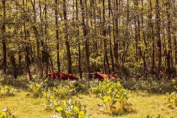 Lage Bergse Bos - Schotse hooglander nr. 1 van Deborah de Meijer